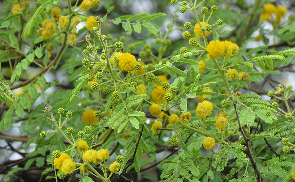Medicinal Use Of Babul Plant Acacia Nilotica Syn A Arabica Fabaceae Herbs And Remedies
