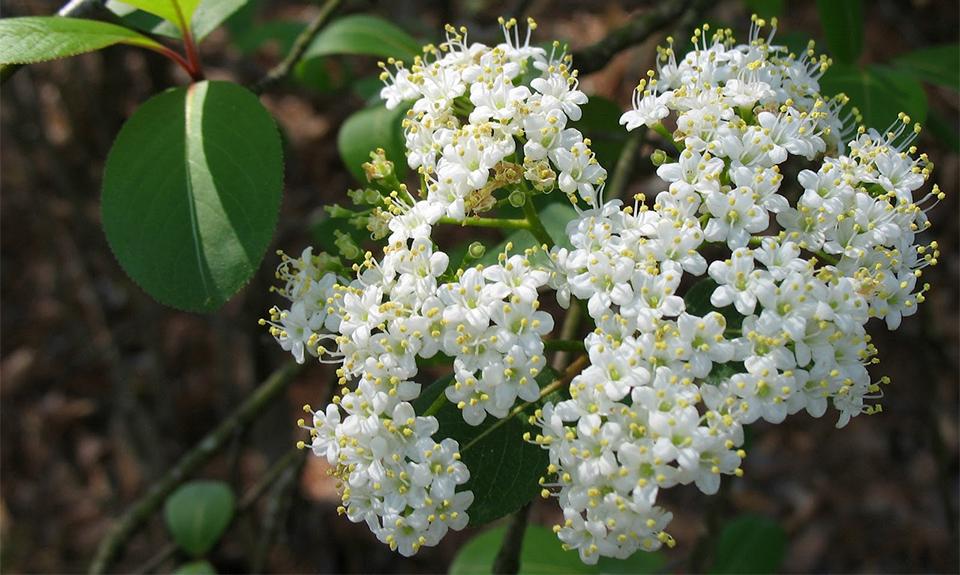 Flowers of Black Haw - Viburnum Prunifolium (Caprifoliaceae).