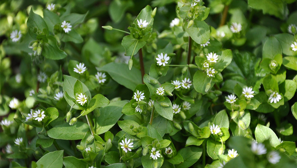 Medicinal Use of Chickweed - Stellaria Media (Caryophyllaceae ...