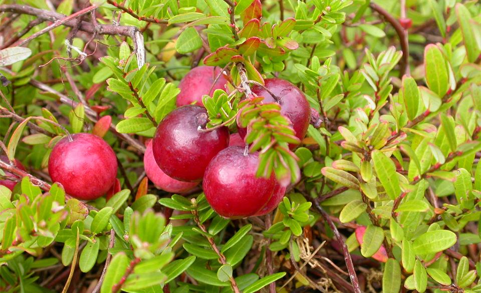 Fruits of Cranberry - Vaccinium Macrocarpon (Ericaceae).