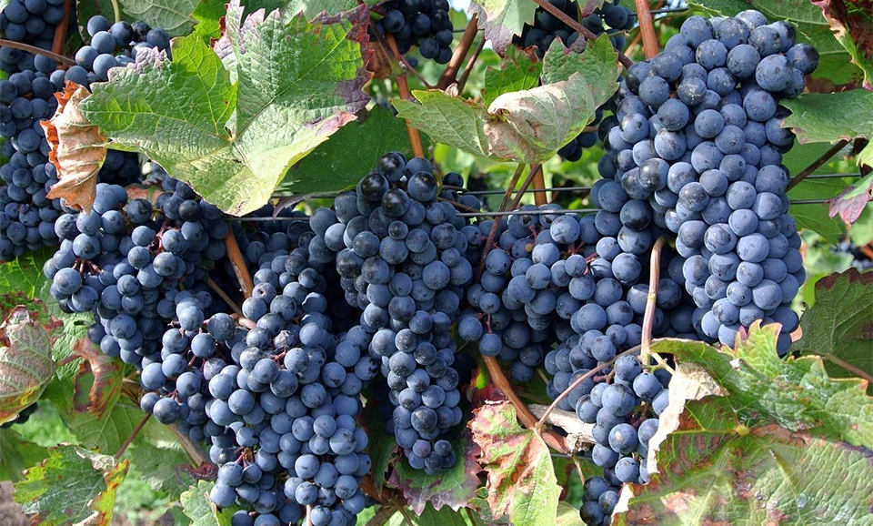 Grapes - Vitis Vinifera (Vitaceae)