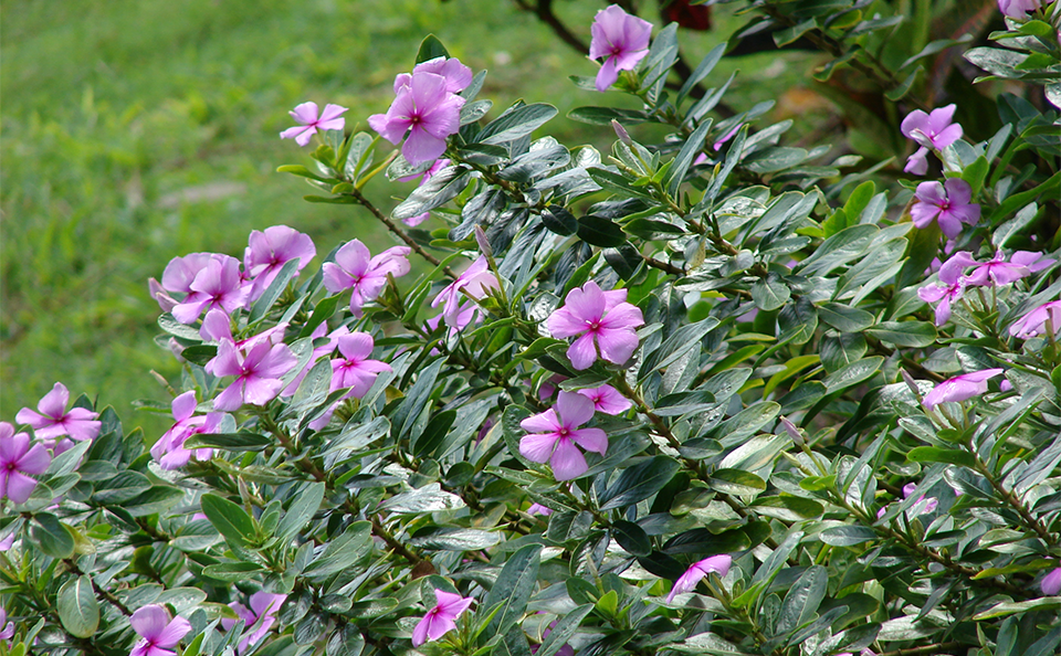 Flowers of Madagascar Periwinkle plant - Vinca Rosea (Apocynaceae)